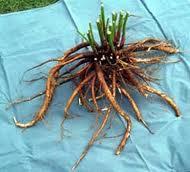 Peony Root